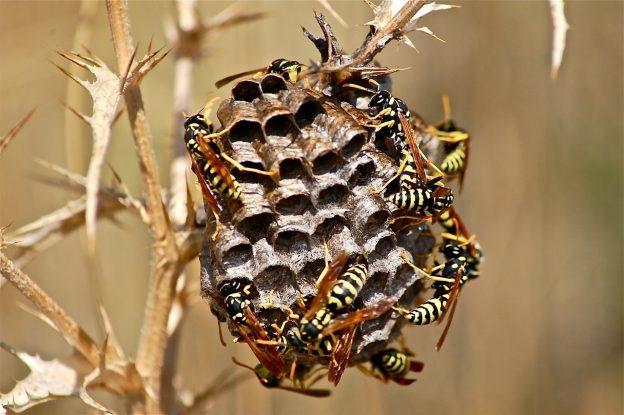 Anza-Borrego Tarantula Wasps